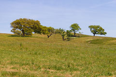 As árvores de cortiça em um campo de exploração agrícola no vale Seco, Santiago fazem Cacem Fotografia de Stock