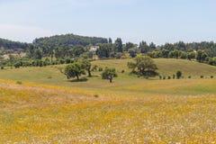 As árvores de cortiça em um campo de flores amarelo no vale Seco, Santiago fazem C Fotos de Stock Royalty Free