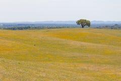 As árvores de cortiça em um campo de flores amarelo no vale Seco, Santiago fazem C Fotografia de Stock