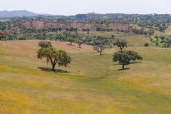 As árvores de cortiça em um campo de flores amarelo no vale Seco, Santiago fazem C Foto de Stock Royalty Free