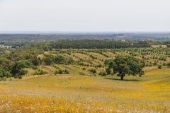 As árvores de cortiça em um campo de flores amarelo no vale Seco, Santiago fazem C Imagem de Stock Royalty Free