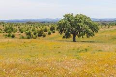 As árvores de cortiça em um flores amarelo colocam no vale Seco, Santiago fazem o Ca Fotos de Stock Royalty Free