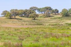 As árvores de cortiça em uma plantação da exploração agrícola no vale Seco, Santiago fazem Cacem Fotografia de Stock