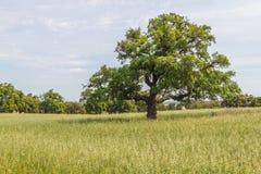 As árvores de cortiça em uma plantação da exploração agrícola no vale Seco, Santiago fazem Cacem Foto de Stock Royalty Free