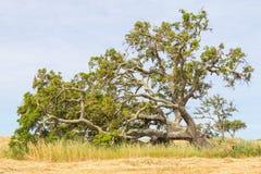 As árvores de cortiça em uma plantação do trigo no vale Seco, Santiago fazem Cace Fotografia de Stock