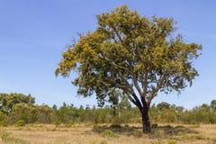 As árvores de cortiça no vale Seco, Santiago fazem Cacem Imagem de Stock Royalty Free