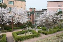 As árvores de florescência aproximam prédios de apartamentos em Seoul Foto de Stock Royalty Free