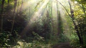 As árvores de floresta da manhã com levantamento do sol irradiam-se após a chuva filme