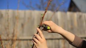 As árvores de fruto de poda com os secateurs do jardim na mola jardinam video estoque