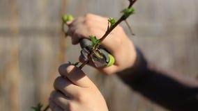 As árvores de fruto de poda com os secateurs do jardim na mola jardinam vídeos de arquivo