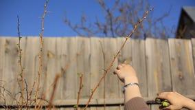 As árvores de fruto de poda com os secateurs do jardim na mola jardinam filme
