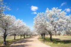As árvores de pera de Bradford que florescem no Texas saltam imagens de stock royalty free