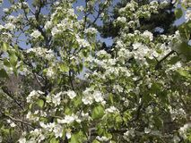 As árvores de pera florescem na mola imagens de stock