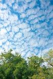 As árvores de vidoeiro verdes luxúrias da folha e o céu azul na floresta úmida no fundo da natureza do quadro texture a perspecti Fotografia de Stock Royalty Free