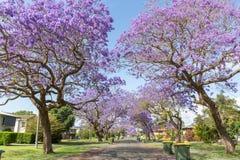 As árvores do Jacaranda temperam em Austrália fotografia de stock