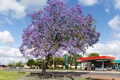 As árvores do Jacaranda temperam em Austrália foto de stock