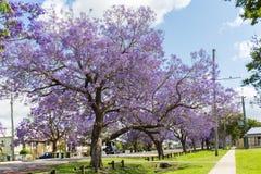 As árvores do Jacaranda temperam em Austrália imagem de stock