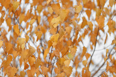 As árvores do outono com amarelar saem contra o céu Fotos de Stock