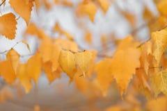 As árvores do outono com amarelar saem contra o céu Imagem de Stock