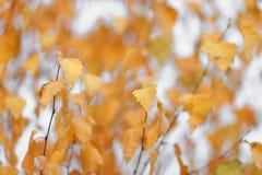 As árvores do outono com amarelar saem contra o céu Imagens de Stock Royalty Free