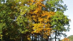 As árvores do outono estão balançando vídeos de arquivo