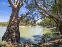 As árvores e a ferradura de goma dobram-se em Murray River, Victoria, Austrália Fotos de Stock