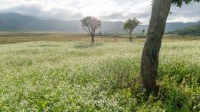 As árvores e a mostarda colocam com a flor branca em DonDuong - Dalat- Vietname fotografia de stock royalty free