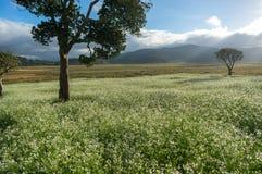As árvores e a mostarda colocam com a flor branca em DonDuong - Dalat- Vietname imagem de stock royalty free