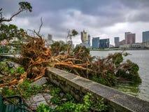 As árvores enormes desarraigadas Imagem de Stock
