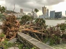 As árvores enormes desarraigadas Imagens de Stock