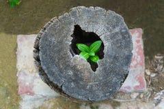 As árvores fortes crescem acima na cavidade de um coto de árvore Imagens de Stock