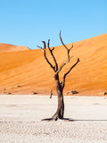 As árvores inoperantes do espinho do camelo em Deadvlei secam a bandeja com solo rachado no meio das dunas vermelhas do deserto d Fotos de Stock