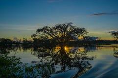 As árvores mostradas em silhueta contra um céu alaranjado no por do sol sobre Laguna grandioso nos animais selvagens de Cuyabeno  Imagem de Stock Royalty Free
