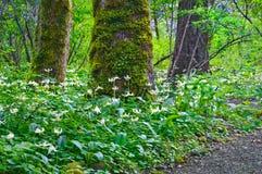 As árvores na floresta cercada por um prado de Fawn Lily florescem Fotografia de Stock