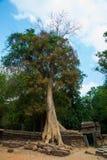 As árvores nas paredes do templo Ta Prohm angkor cambodia Imagens de Stock Royalty Free