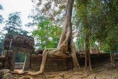 As árvores nas paredes do templo Ta Prohm angkor cambodia Imagem de Stock
