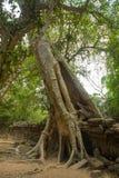 As árvores nas paredes do templo Ta Prohm angkor cambodia Fotografia de Stock Royalty Free