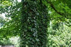 As árvores no parque são cobertas com as lianas Parque do verão no ci Foto de Stock