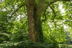 As árvores no parque são cobertas com as lianas Parque do verão no ci Imagem de Stock Royalty Free