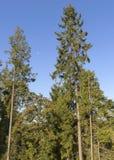 As árvores spruce altas esticam para o céu, aonde a lua aumentou em um dia brilhante, ensolarado fotografia de stock