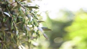 As ?rvores verde-oliva jardinam, campo verde-oliva mediterr?neo que prepara-se para o bosque verde-oliva de Chipre da colheita, d fotos de stock