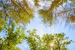 As árvores verdes cobrem na floresta, no céu azul e nos feixes do sol brilhando através das folhas Fotografia de Stock