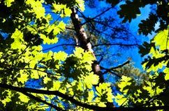 As árvores verdes cobrem na floresta, no céu azul e nos feixes do sol brilhando através das folhas Vista inferior Foto de Stock Royalty Free