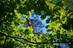 As árvores verdes cobrem na floresta, no céu azul e nos feixes do sol brilhando através das folhas Vista inferior Foto de Stock