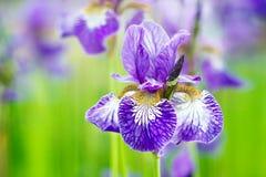 As íris das flores do lilás crescem no jardim Fotos de Stock