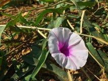 As únicas flores cor-de-rosa na grama verde Imagem de Stock