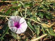As únicas flores cor-de-rosa na grama verde Fotos de Stock