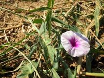 As únicas flores cor-de-rosa na grama verde Imagem de Stock Royalty Free