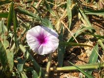 As únicas flores cor-de-rosa na grama verde Fotografia de Stock