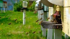 As abelhas circundam em torno da colmeia e põem o pólen recentemente floral do néctar e da flor dentro da colmeia v?deo do Lento- vídeos de arquivo